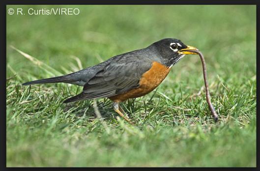 birdseatworm